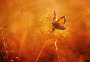 колоски, бабочка, фон, свет, макро, тепло, мотылек