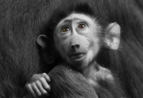 Обои baboon, pavian, animal, животное, обезьяна, взгляд, глаза