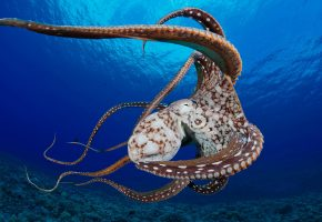 моллюск, осьминог, океан, кораллы, щупальцы