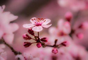 весна, цветение, лепесток, макро, ветка