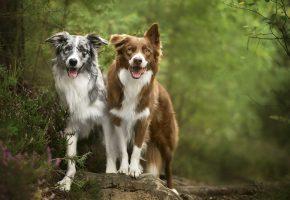 природа, собаки, друзья, язык, морда, лапы