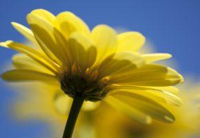 Цветок, ромашка, стебель, лепестки, желтые