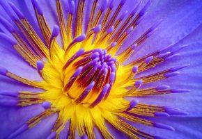 цветок, кувшинка, лепестки, водная лилия