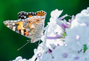 бабочка, насекомое, мотылек, цветы, крылья