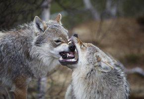 хищник, волки, пасть, зубы, клыки, серый