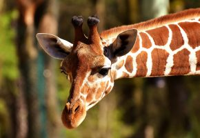 Обои животное, жираф, шея, голова, рожки