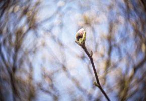 Ветка, почки, макро, весна