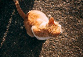 кот, сидит, рыжий, cat, sitting, хвост, уши