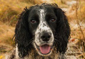 морда, собака, язык, спаниель, сеттер, face, dog, spaniel, setter