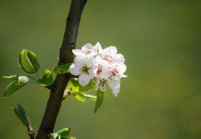ветка, природа, цветение, весна, branch, nature, flowering, spring