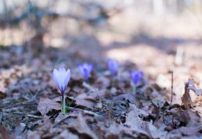 природа, весна, крокусы, flowers, nature, spring, crocuses