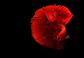 рыбка, петушок, красный, хвост, плавники