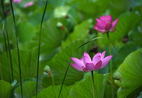 цветок, лотос, листья, зеленые, водоем
