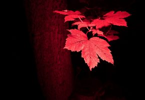 листья, красные, осень, дерево, ствол, макро