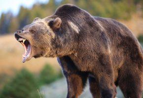 медведь, оскал, хищник, клыки