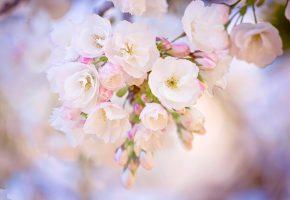 весна, ветка, сакура, цветение