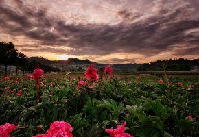 поле, цветы, пионы, закат