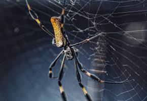 паук, паутина, плетение, насекомое