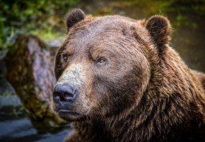 медведь, бурый, хищник, животное, нос, морда