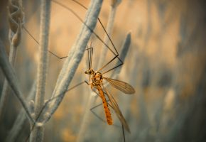 макро, комар, насекомое, москит, лапки