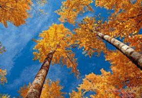 лес, осень, листва, береза, небо