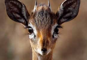 животное, олененок, голова, animal, природа, взгляд, рожки