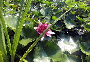 цветок, лилия, зелень, обоитут, вода, бутоны, oboitut