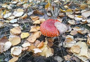 Лес, гриб, мухомор, листья, обоитут, осень, oboitut, иголки