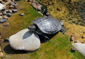 черепаха, обоитут, панцирь, камень, oboitut, вода