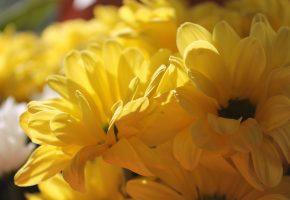 хризантемы, желтые, цветы, лепестки
