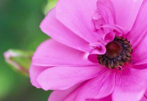 макро, розовая, лепестки, Анемона