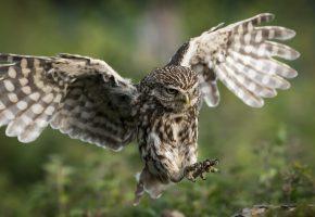 сова, птица, полет, крылья, перья, охота