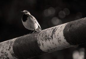 птица, серый, фон, труба, сидит, маленький