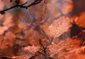паутина, осень, листья