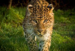 Обои Леопард, Морда, Взгляд, Усы, природа