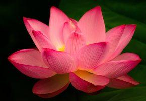 Макро, Цветок, Лепестки, Лотос, красота