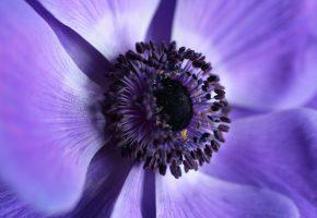 цветок, фиолетовый, макро, лепестки