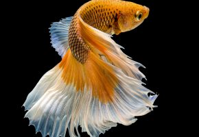 fish, рыбка, петушок, хвост, плавники, макро, красавец