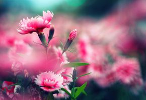 розовая, гвоздика, размытость