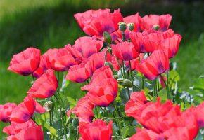 маки, цветы, а, кому-то, другое