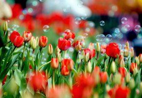 мыльный, пузырь, над, тюльпаном, завис