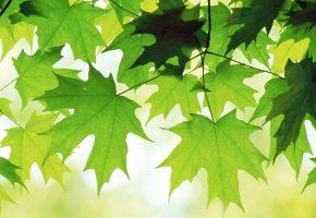 молодые, листья, клёна