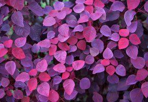 редкий, цвет, листвы