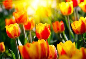 тюльпаны, солнце, цветы, лепестки