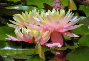 лилии, водяные, кувшинки